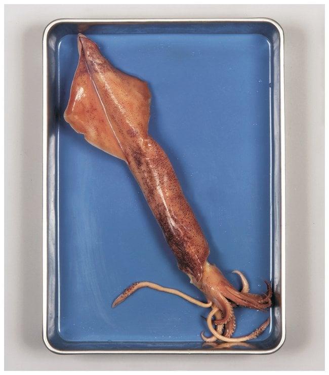 Carolina Formalin Squid :Teaching Supplies:Biology Classroom
