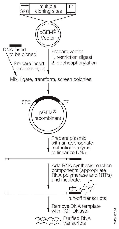 PromegaRiboprobe Combination Systems:Biochemical Reagents:Transcription