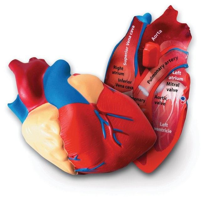 Cross Section Models: Plant/Animal Cell, Human Heart/Brain :Teaching Supplies:Biology