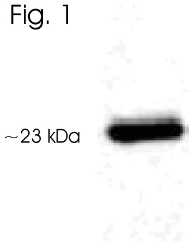 AANAT Rabbit anti-Rat, Polyclonal, Invitrogen 50 µg; Unconjugated