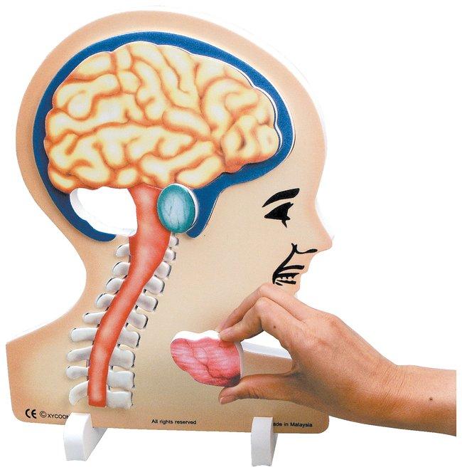 Book Plus Anatomy Series Book Plus Brain Modelteaching Supplies