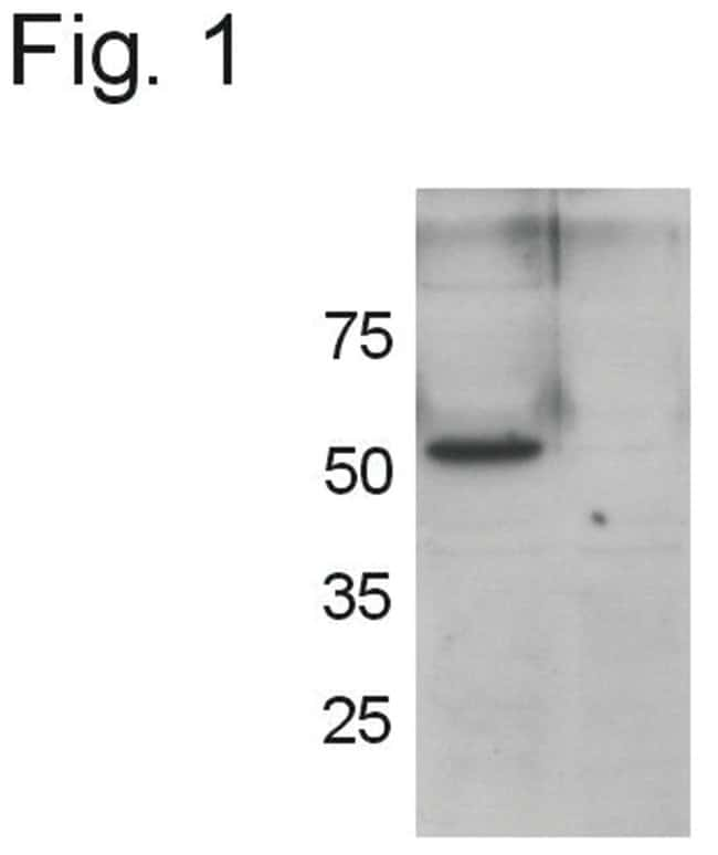 Mouse GRASP55 (aa 419-433), Synthetic Peptide, Invitrogen 50µg:Life