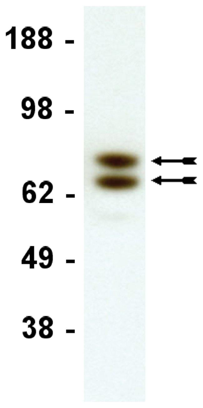 MilliporeSigma anti-Lamin A/C, Clone: 14,  (Upstate)  50µg