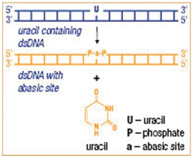 Thermo Scientific Uracil-DNA Glycosylase (1 U/L) :Life Sciences:Enzymes