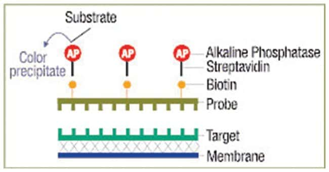 Thermo Scientific Biotin Chromogenic Detection Kit :Life Sciences:Biochemicals