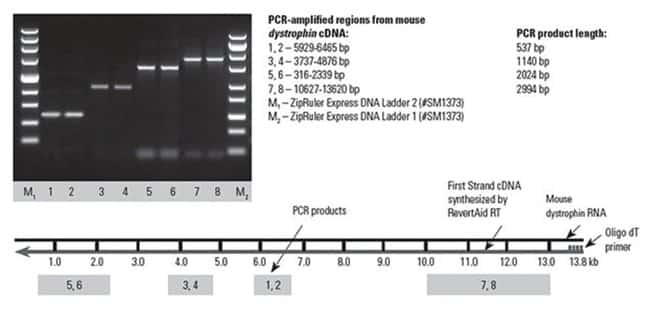 Thermo Scientific RevertAid First Strand cDNA Synthesis Kit :Life Sciences:Biochemicals