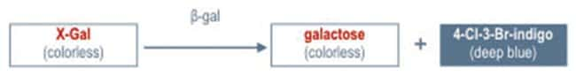 Thermo Scientific™X-Gal: Verschiedene Molekularreagenzien Proteinbiologie