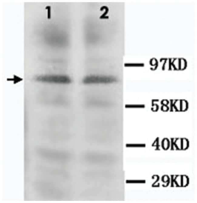 PRKCG Rabbit anti-Human, Mouse, Rat, Polyclonal Antibody, Abnova 100µg;