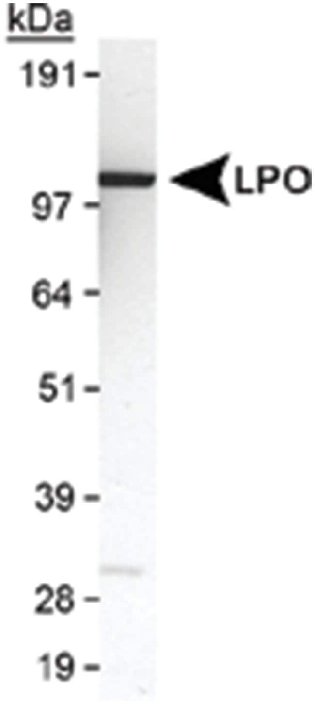 LPO Rabbit anti-Bovine, Human, Primates, Polyclonal Antibody, Abnova 100µL;
