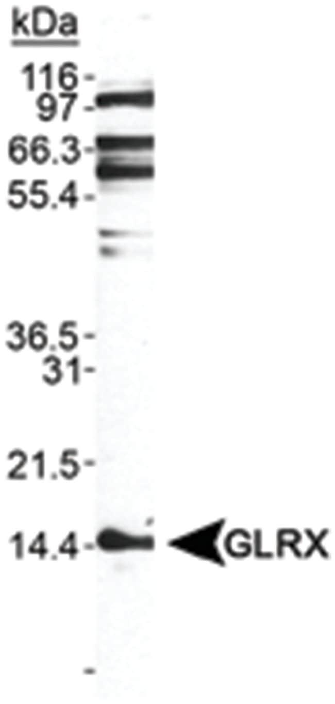 GLRX, Rabbit, Polyclonal Antibody, Abnova 100µL; Unlabeled:Life Sciences