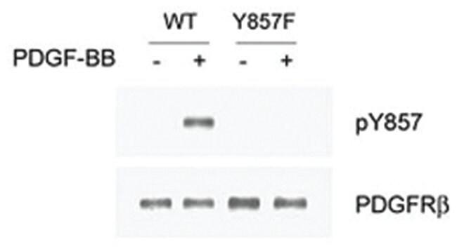 PDGFRB (phospho Y857), Rabbit anti-Human, Mouse, Polyclonal Antibody, Abnova