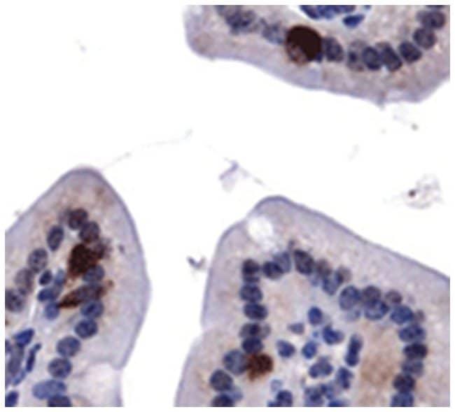 ATG9A Rabbit anti-Human, Mouse, Polyclonal Antibody, Abnova 100µL;