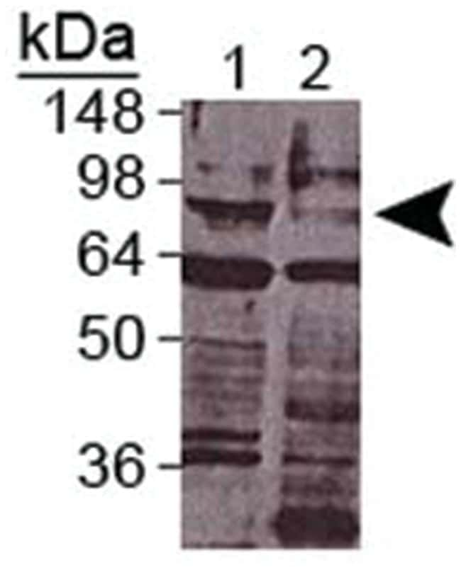 daf-3, Rabbit, Polyclonal Antibody, Abnova 100µL; Unlabeled:Life Sciences
