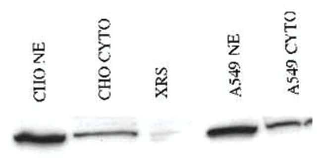XRCC5 Rabbit anti-Human, Mouse, Rat, Polyclonal Antibody, Abnova 100µg;