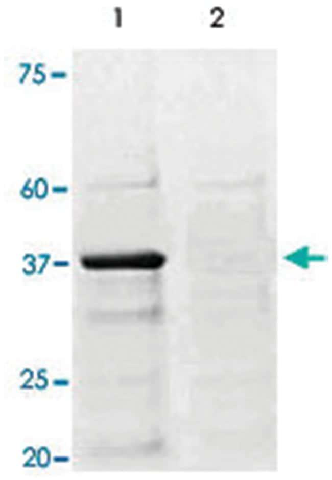CREB1 (phospho S133), Rabbit anti-Human, Rat, Polyclonal Antibody, Abnova
