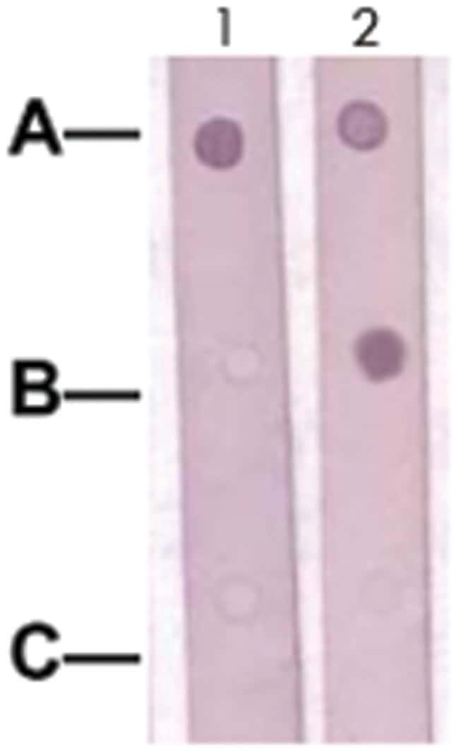 SOX9 Rabbit anti-Human, Mouse, Rat, Polyclonal Antibody, Abnova 100µg;