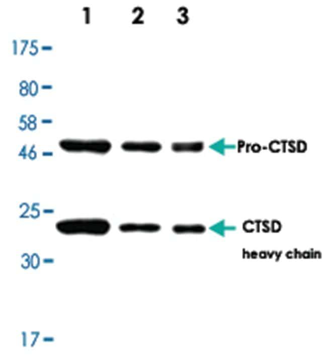 CTSD Rabbit anti-Human, Rat, Polyclonal Antibody, Abnova 100µL; Unlabeled:Life