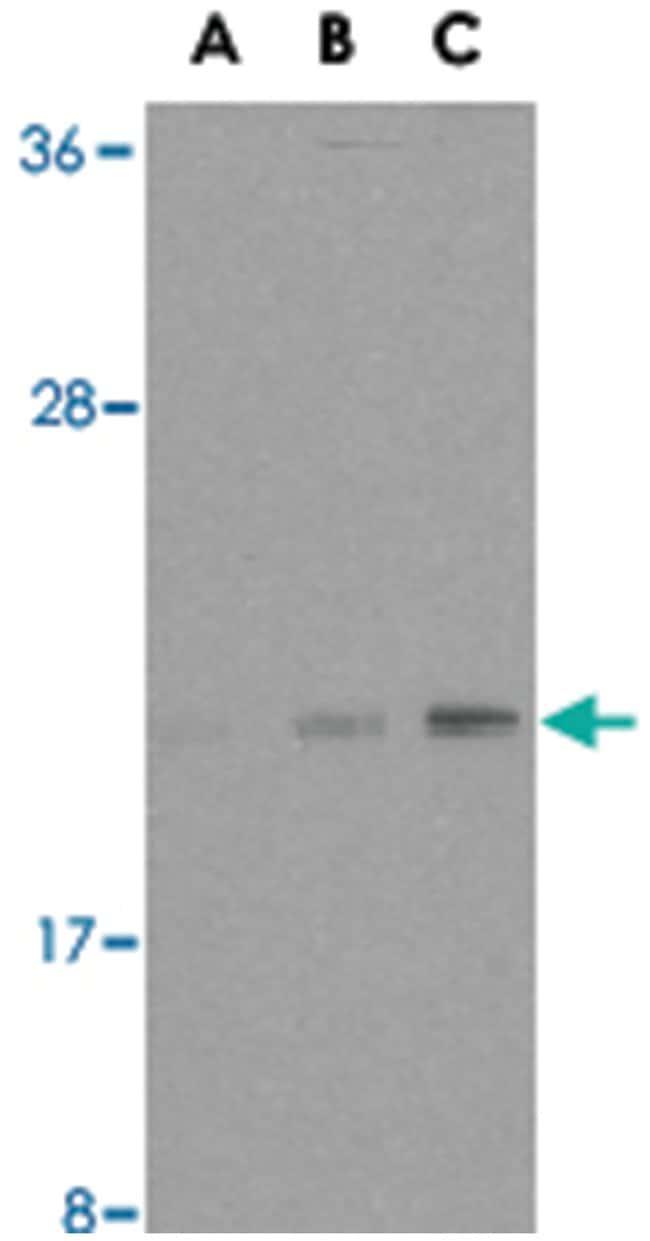 BAX Rabbit anti-Human, Polyclonal Antibody, Abnova 100µg; Unlabeled:Life