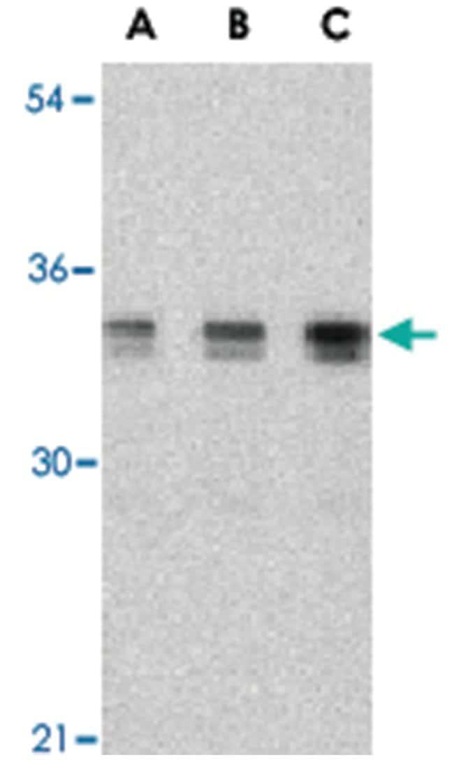 XBP1 Rabbit anti-Human, Mouse, Polyclonal Antibody, Abnova 100µg;