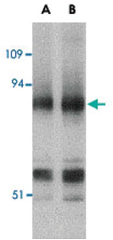 PRDM1 Rabbit anti-Human, Mouse, Rat, Polyclonal Antibody, Abnova 100µg;