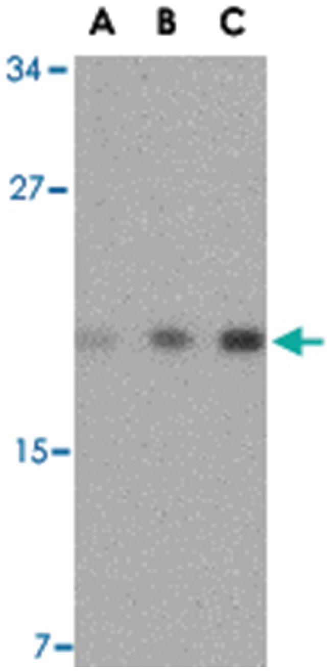 TMED10 Rabbit anti-Human, Mouse, Rat, Polyclonal Antibody, Abnova 100µg;