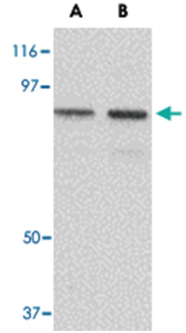 NUP107 Rabbit anti-Human, Rat, Polyclonal Antibody, Abnova 100µg;