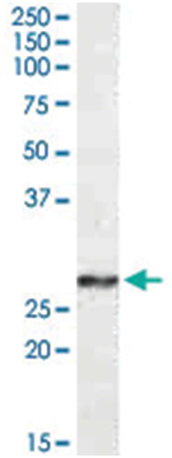 NDUFS3, Goat, Polyclonal Antibody, Abnova 100µg; Unlabeled:Life Sciences