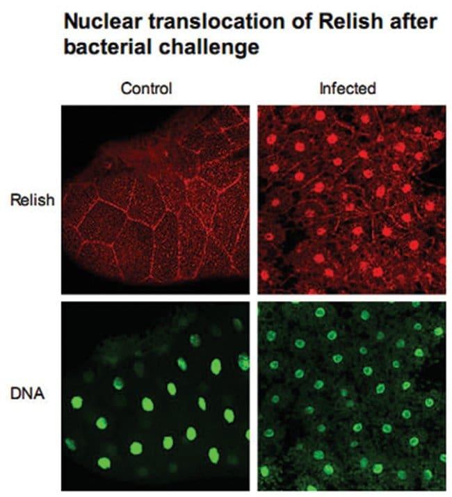 REL Rabbit anti-Flies, Fruit fly, Polyclonal Antibody, Abnova 200µg;