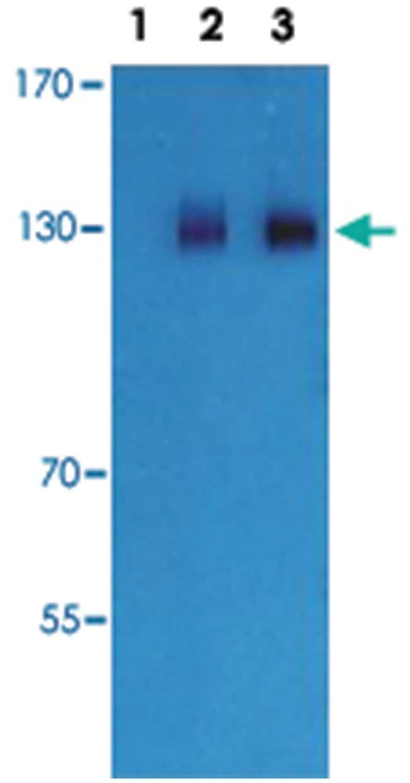 Gabbr2 Rabbit anti-Mouse, Rat, Polyclonal Antibody, Abnova 100µg;