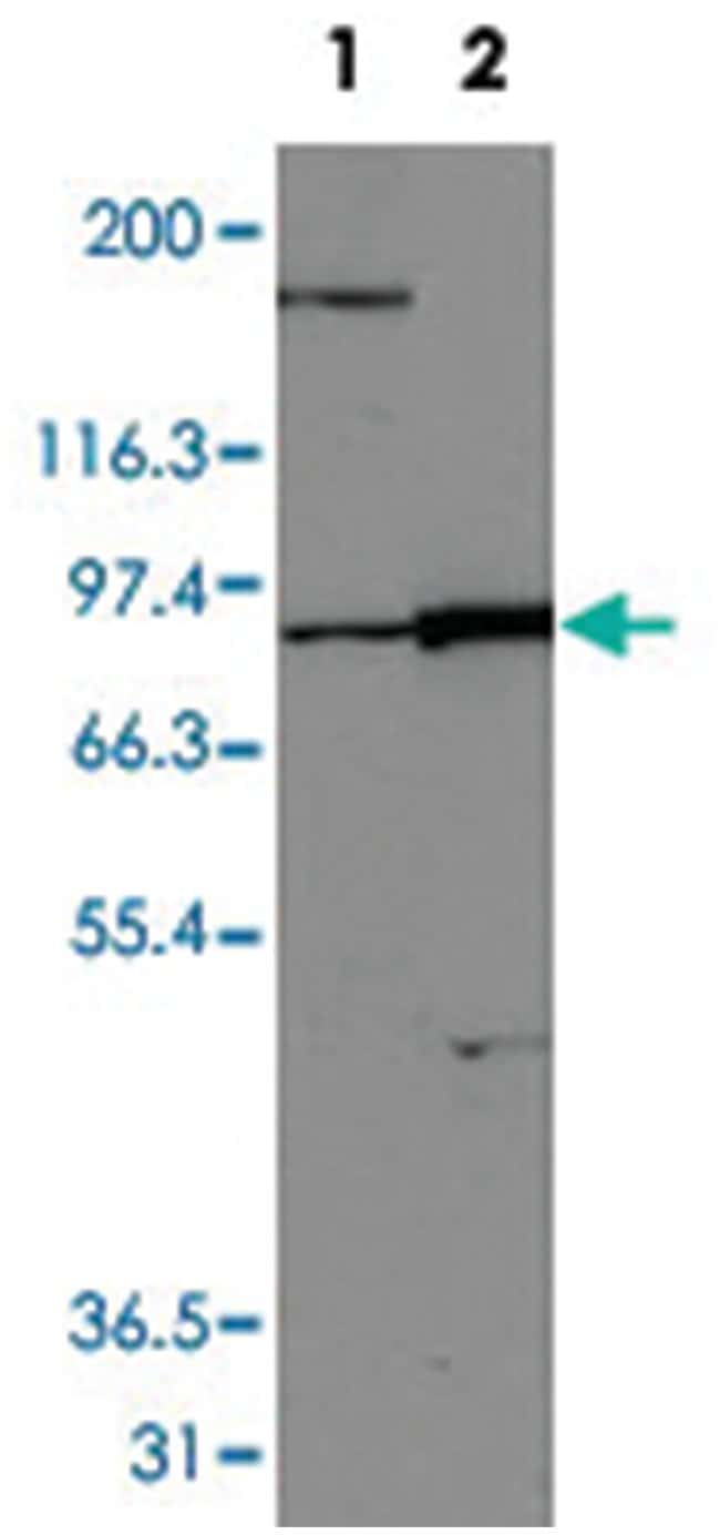 TYRO3 Rabbit anti-Human, Mouse, Polyclonal Antibody, Abnova 100µL;