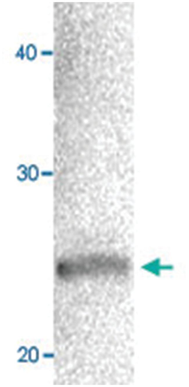 CBX1 Rabbit anti-Hamster, Human, Polyclonal Antibody, Abnova 50µg;