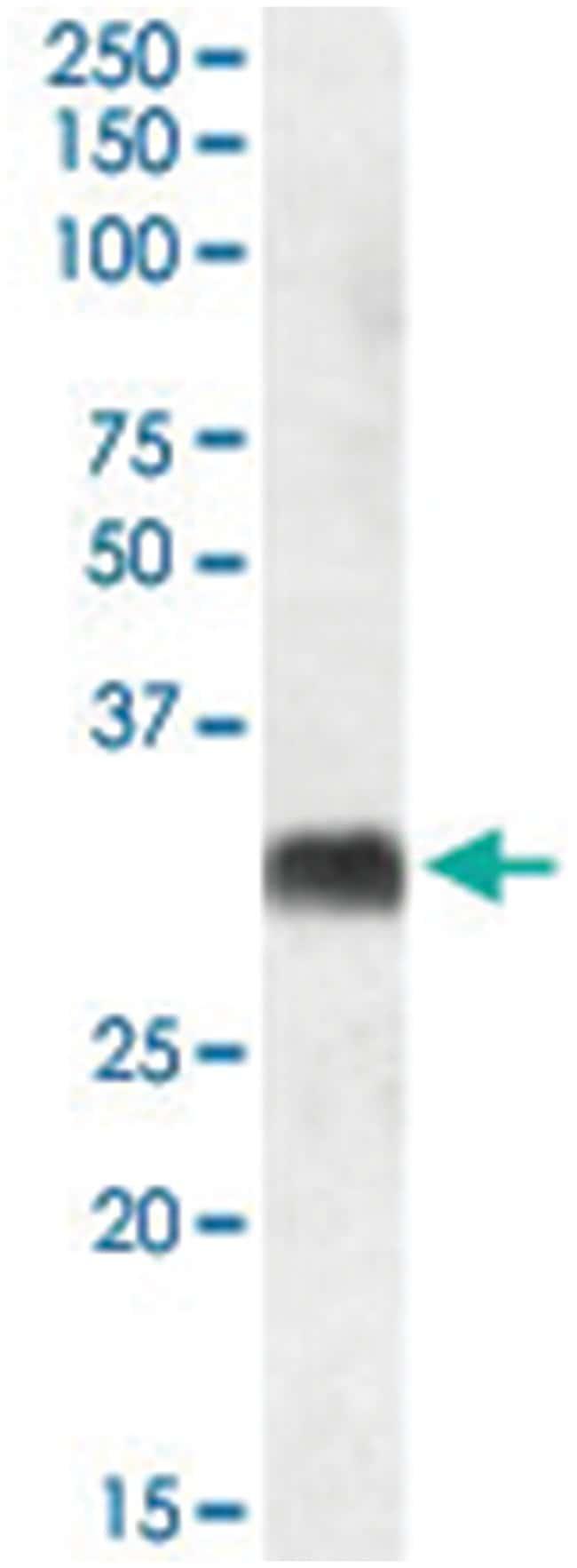 SRD5A2 Goat anti-Human, Polyclonal Antibody, Abnova 100µg; Unlabeled:Life
