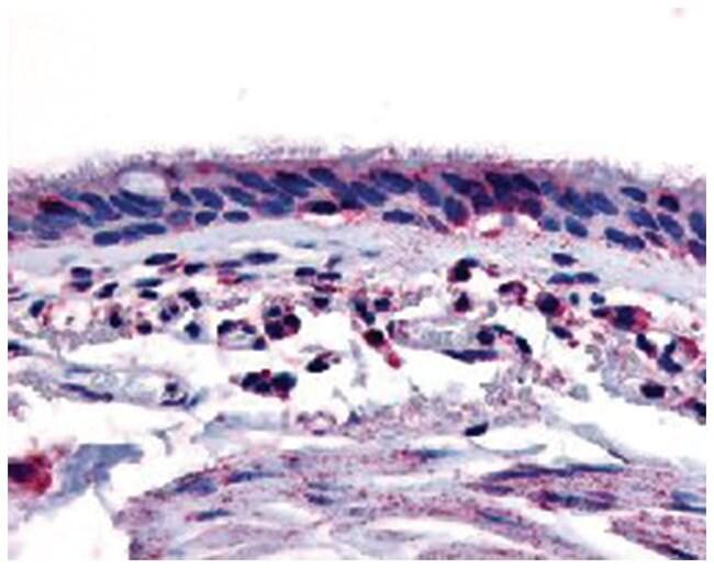 AHR Rabbit anti-Human, Polyclonal Antibody, Abnova 50µg; Unlabeled:Life