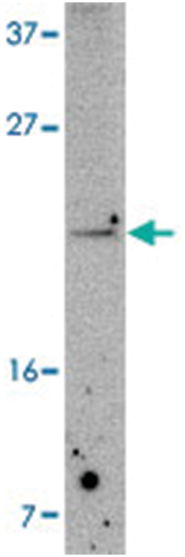 PDCD5 Rabbit anti-Human, Mouse, Rat, Polyclonal Antibody, Abnova 100µg;