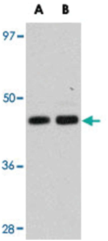 KITLG Rabbit anti-Human, Mouse, Rat, Polyclonal Antibody, Abnova 100µg;