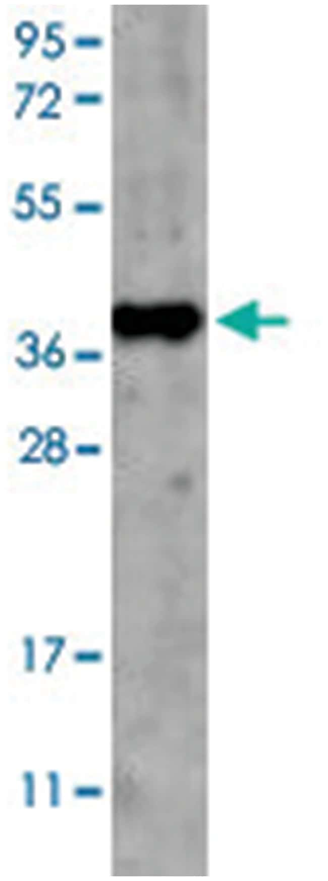 GDF15 Rabbit anti-Human, Mouse, Polyclonal Antibody, Abnova 100µg;