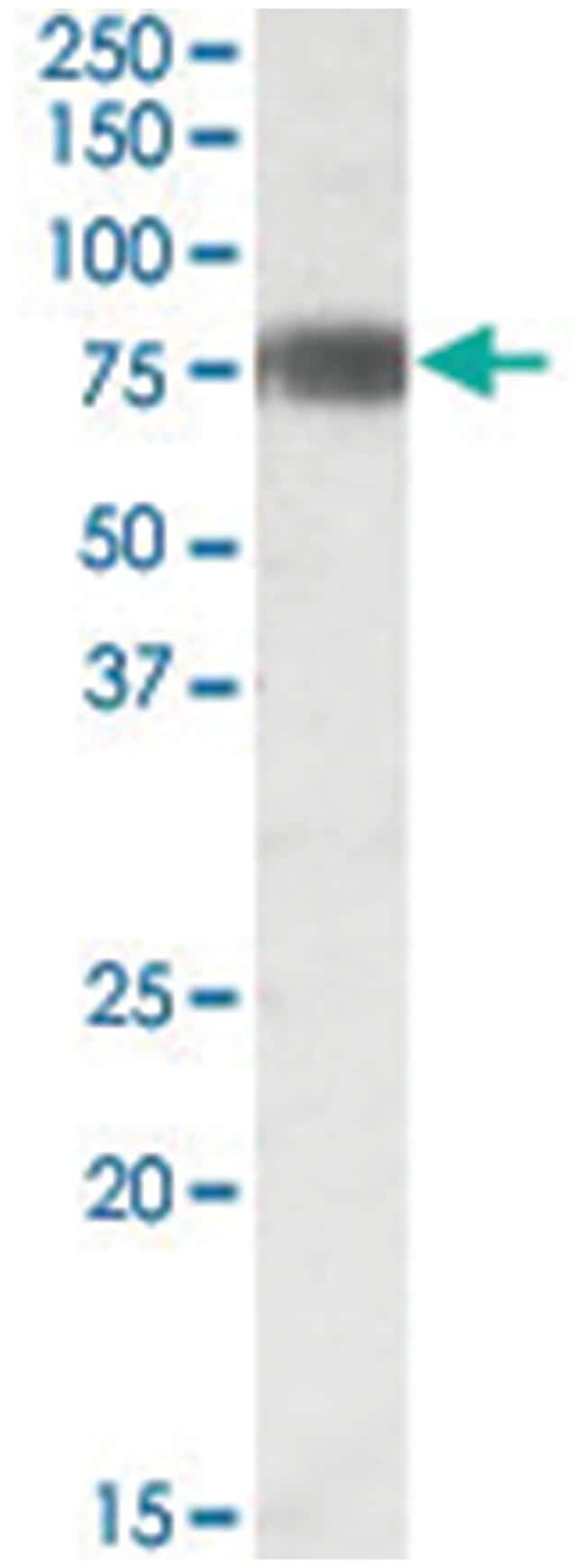 EBF1, Goat, Polyclonal Antibody, Abnova 100µg; Unlabeled:Life Sciences