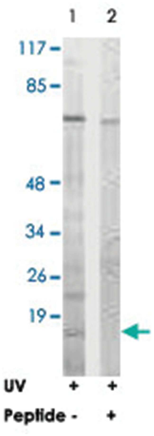 HIST1H2BB, Rabbit, Polyclonal Antibody, Abnova 100µg; Unlabeled:Life