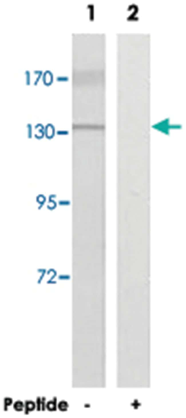 MN1 Rabbit anti-Human, Polyclonal Antibody, Abnova 100µg; Unlabeled:Life
