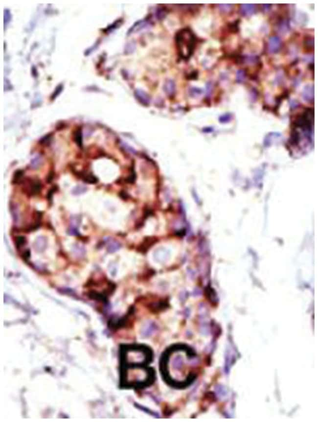 TSG101 Rabbit anti-Human, Mouse, Polyclonal Antibody, Abnova 400µL;