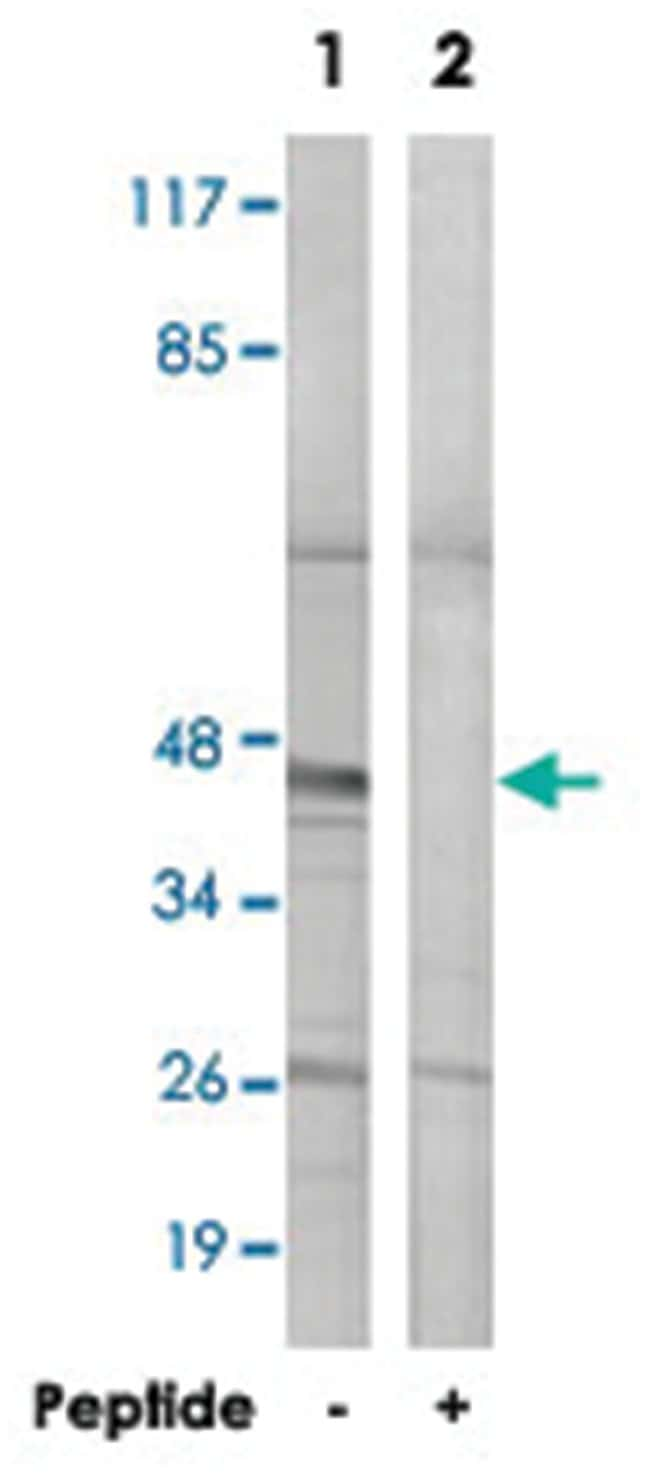 BMP8A Rabbit anti-Human, Polyclonal Antibody, Abnova 100µg; Unlabeled:Life