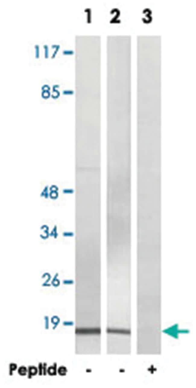 BRP44L Rabbit anti-Human, Mouse, Rat, Polyclonal Antibody, Abnova 100µg;