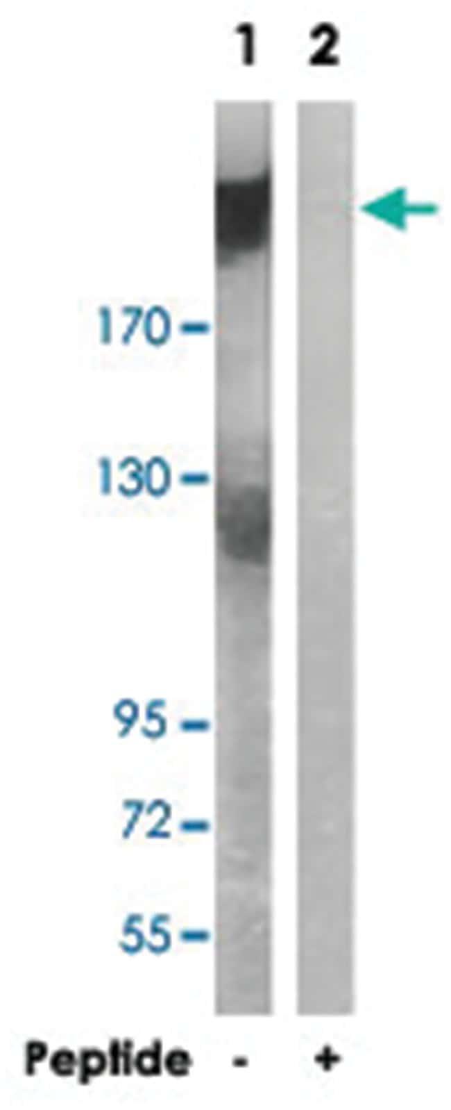 ARFGEF2 Rabbit anti-Human, Mouse, Rat, Polyclonal Antibody, Abnova 100µg;