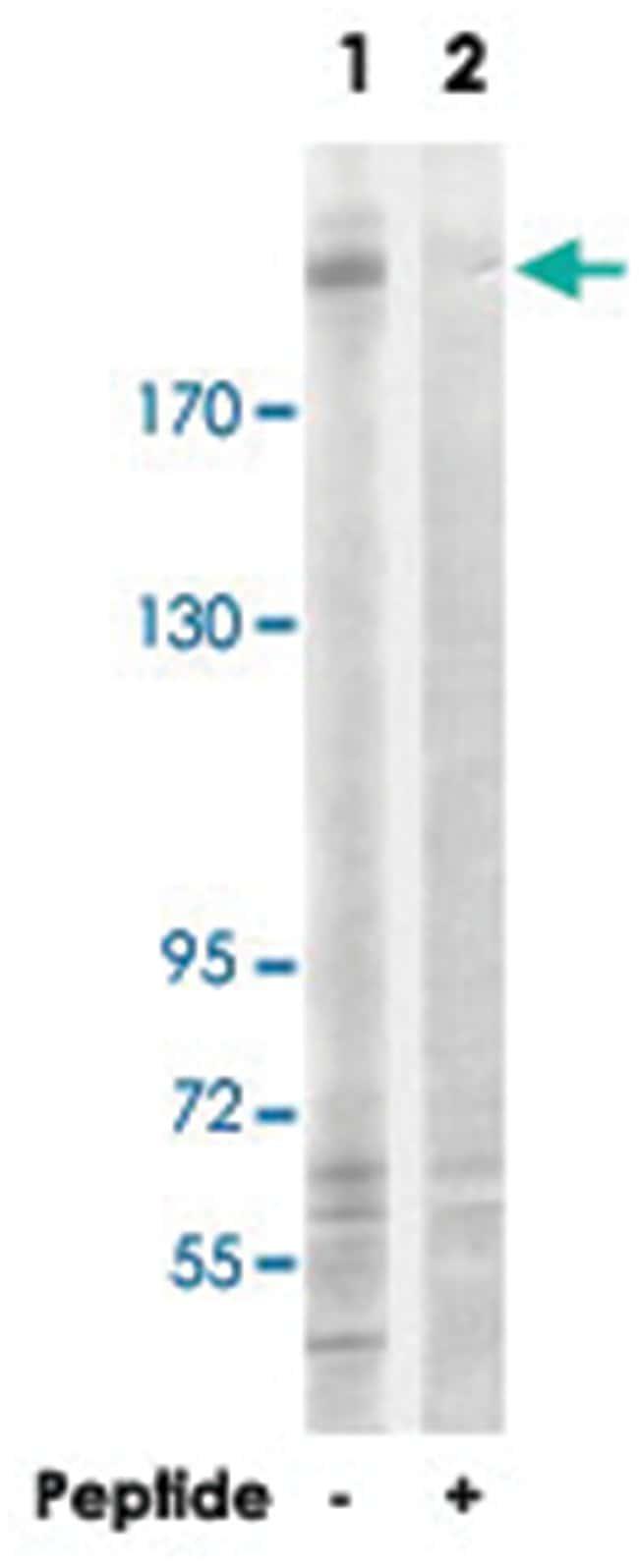 TUBGCP6 Rabbit anti-Human, Polyclonal Antibody, Abnova 100µg; Unlabeled:Life