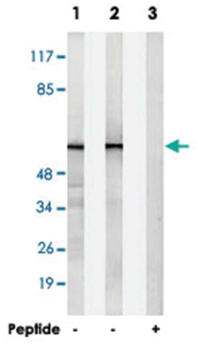 HNRPLL Rabbit anti-Human, Mouse, Polyclonal Antibody, Abnova 100µg;