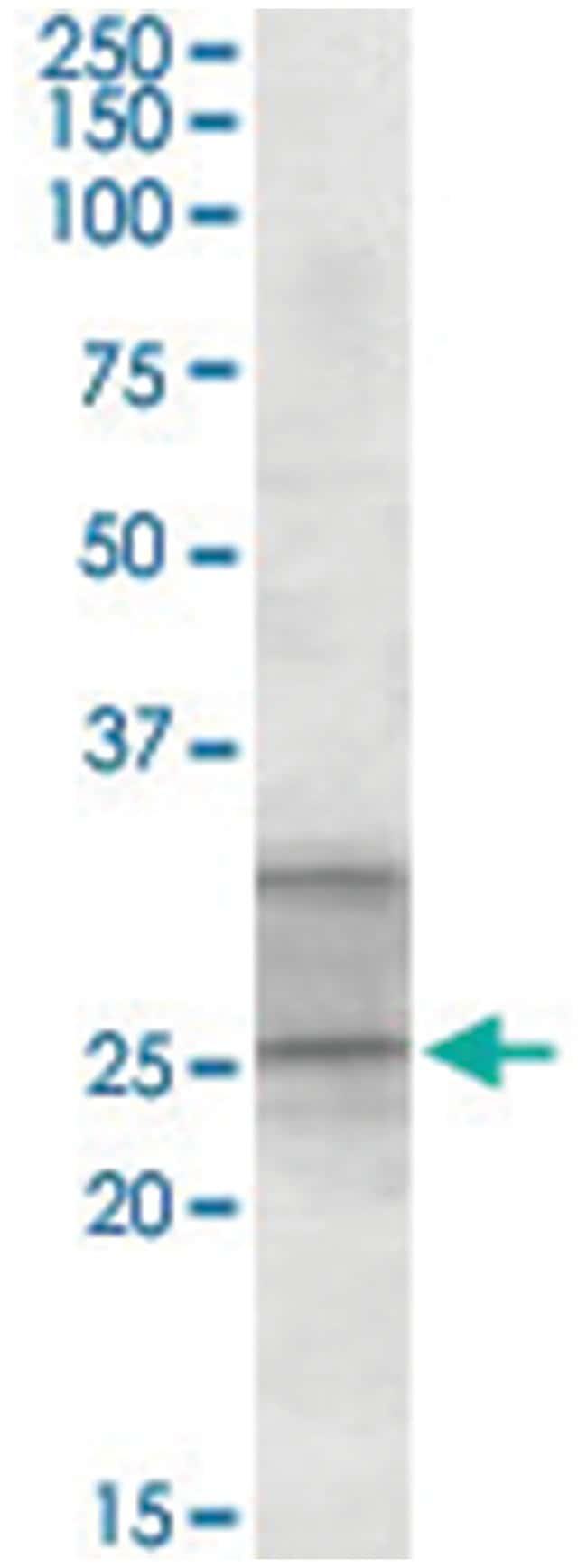 PEBP4, Goat, Polyclonal Antibody, Abnova 100µg; Unlabeled:Life Sciences