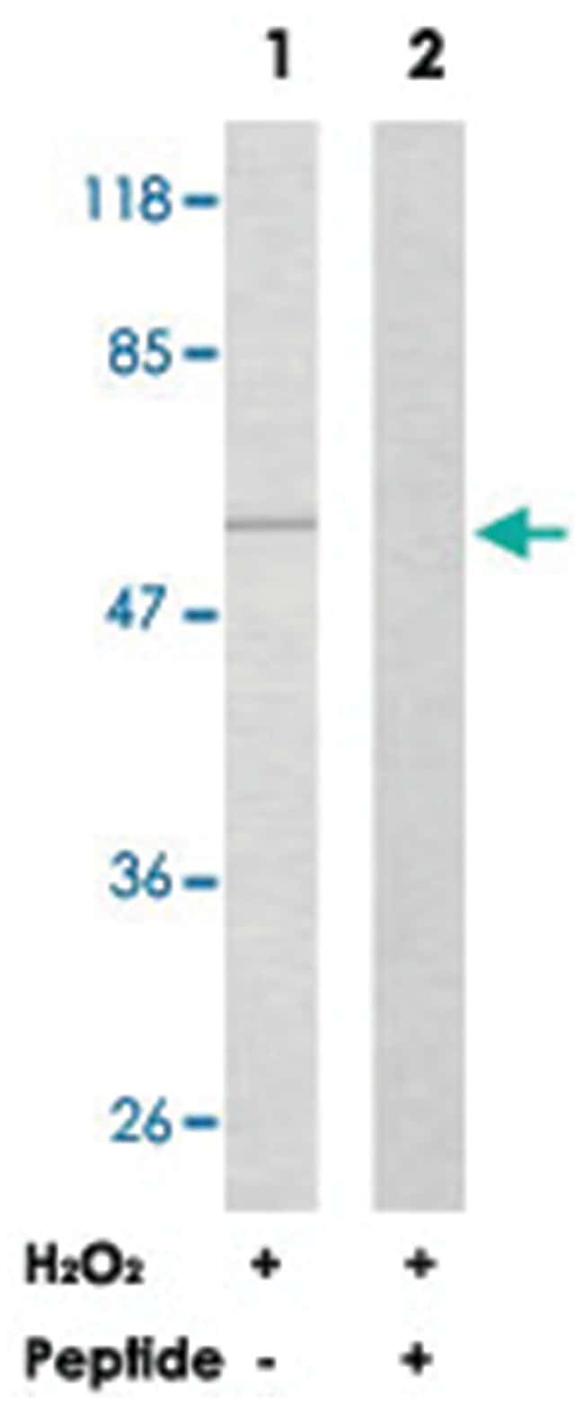 AKT1 Rabbit anti-Human, Mouse, Rat, Polyclonal Antibody, Abnova 100µg;