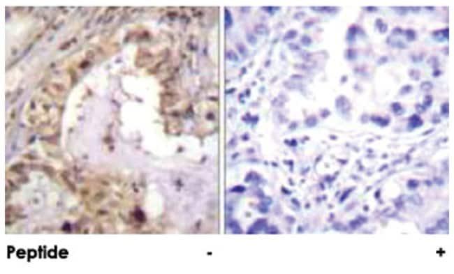 BCL2L1 Rabbit anti-Human, Mouse, Rat, Polyclonal Antibody, Abnova 100µg;
