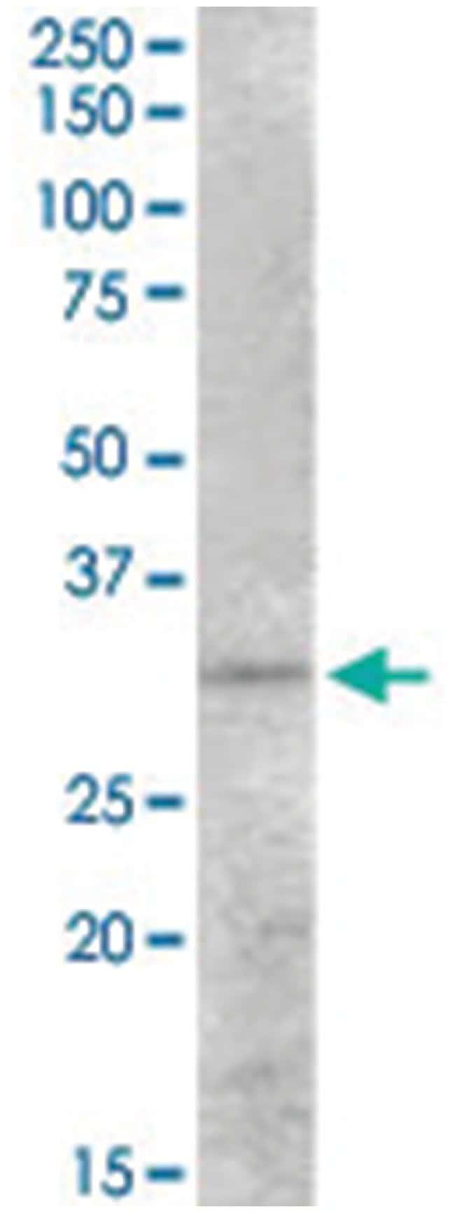 PEX26, Goat, Polyclonal Antibody, Abnova 100µg; Unlabeled:Life Sciences