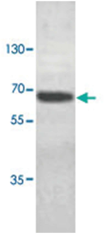 ABCE1 Rabbit anti-Human, Polyclonal Antibody, Abnova 100µg; Unlabeled:Life